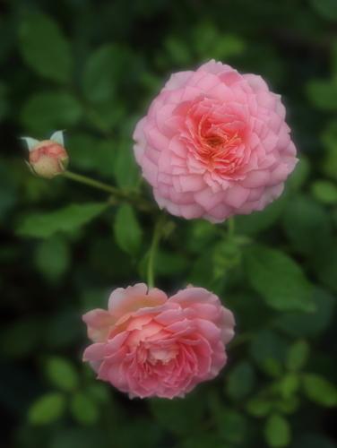 rose1172