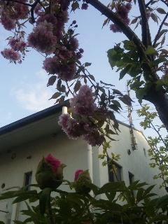 桜 ぼたん