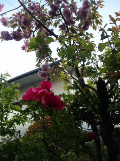 桜 ぼたん2