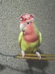 チョコ帽子