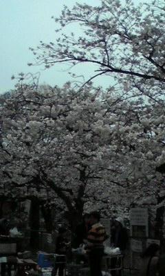 桜だぜぃ♪
