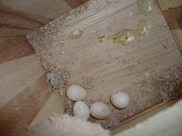 4つの卵ちゃん