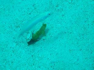タオ島 魚 ハゼ