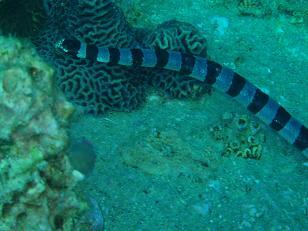 タオ島 ウミヘビ