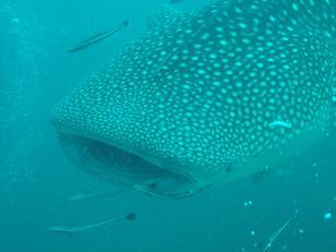 タオ島|ジンベイザメ