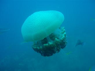 タイ タオ島 ダイビング 魚