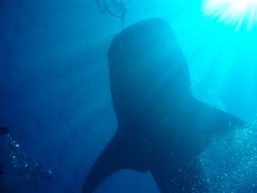タイ|タオ島|ジンベイザメ|ダイビング