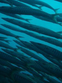 タイ タオ島 魚 ダイビング