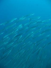 タイ|タオ島|ダイビング|魚