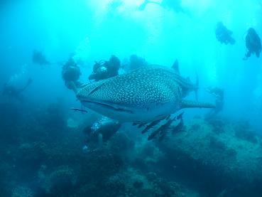 タイ|タオ島|ジンベイザメ|情報