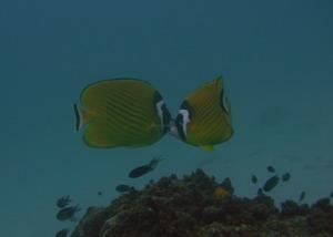 タイ・タオ島・ダイビング・アオルーク・ツキチョウチョウウオペア