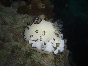 タイ・タオ島・ダイビング・ブチウミウシ・産卵