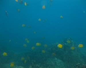 タイ・タオ島・ダイビング・ツキチョウチョウウオ群れ