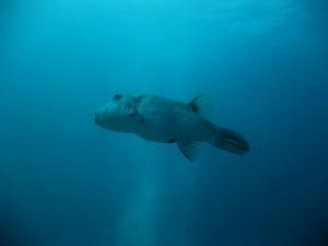タイ・タオ島・ダイビング・魚・モヨウフグ
