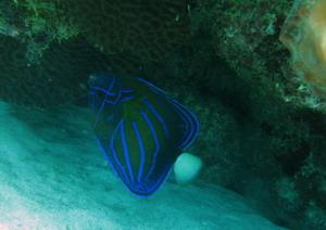 タイ・タオ島・ダイビング・魚・ワヌケヤッコ若魚