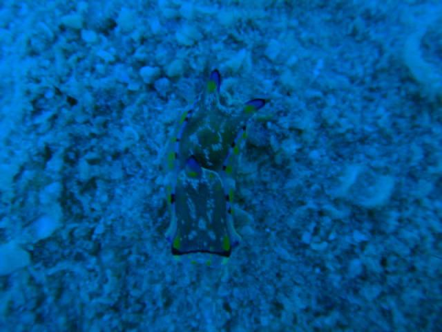 タオ島ダイビング カラスキセワタ