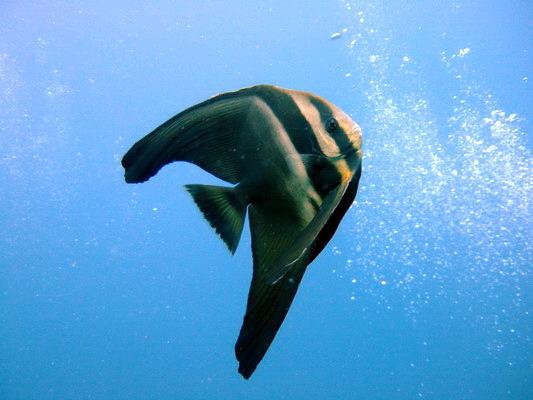 ツバメウオの幼魚・2