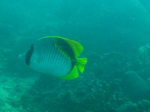 タイ・タオ島・ダイビング・魚・ニセフウライチョウチョウウオ