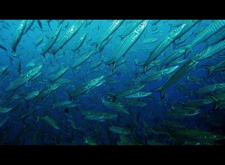 タオ島 ダイビング 魚 バラクーダ