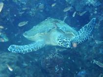タイ・タオ島ダイビング かめ