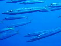 タオ島 魚 タイワンカマス