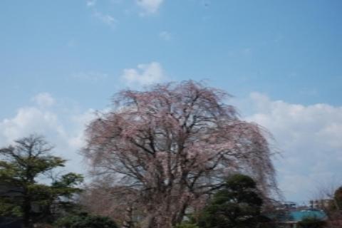 咲きそうな桜