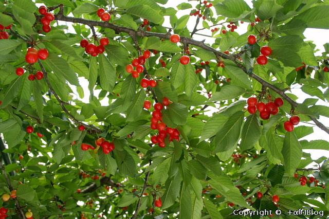 cherry0906b_eip.jpg