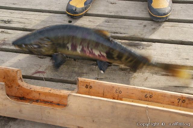 salmon0911L_eip.jpg
