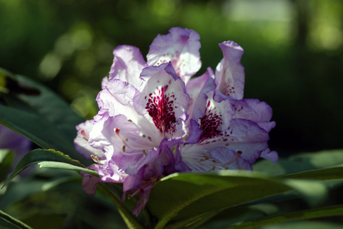 IMGP0388aシャクナゲ返り花