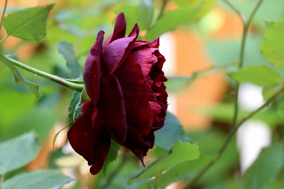 fdp1黒バラ