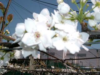 CIMG22711梨の花