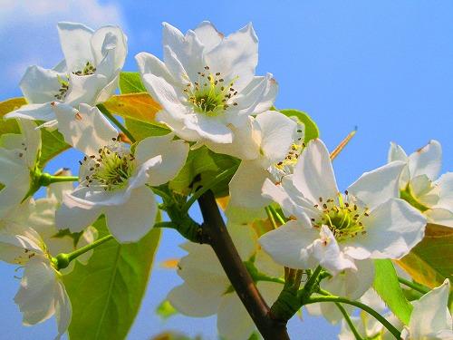 E6A2A8E381AEE88AB1E382A2E38383E38397EFBC92梨の花
