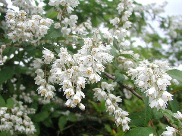 unohana2卯の花
