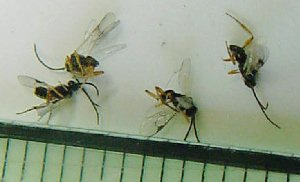 aomusi-komayubati3コマユバチ成虫