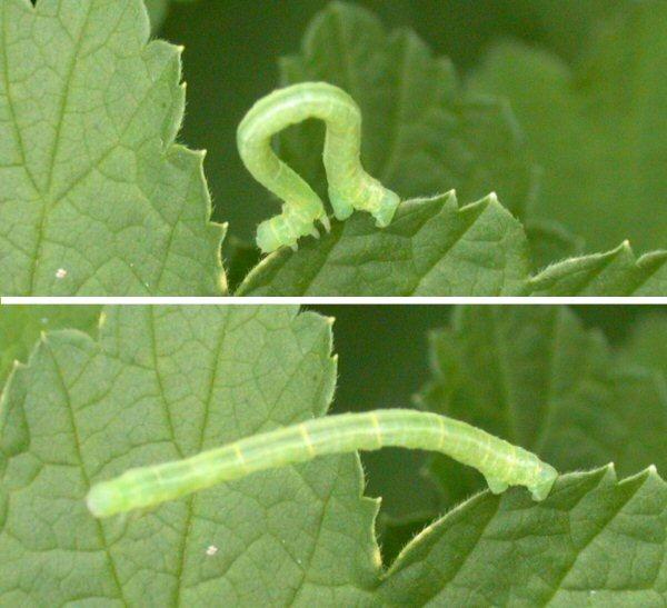 Geometrid_caterpillar尺取虫