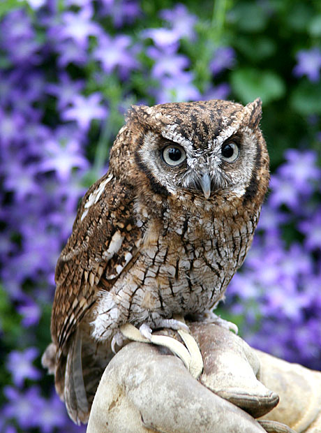 tropicalscreech-owl-1コノハズク