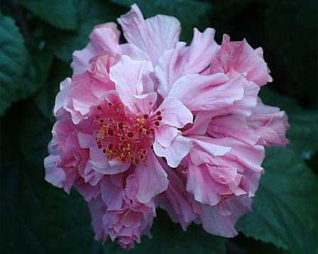 hibiscus7ハイビスカス③