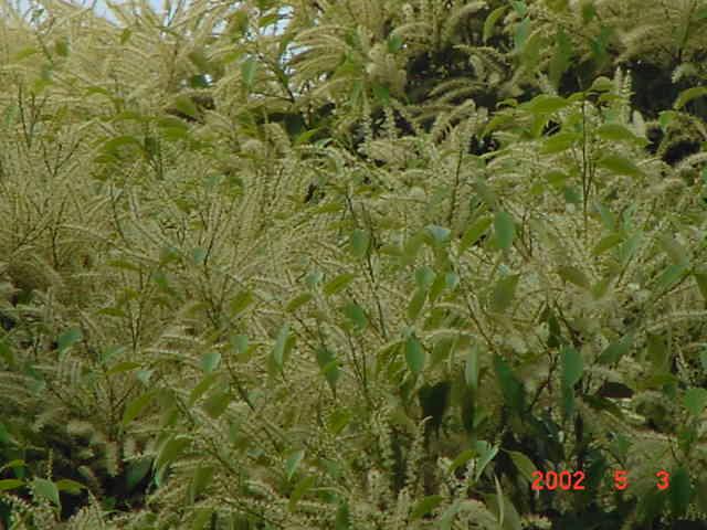ki119椎の花