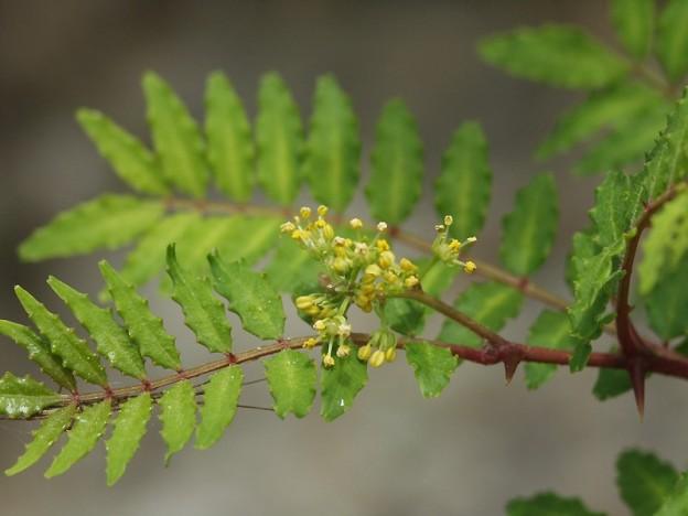 W_sanshou4041山椒の花