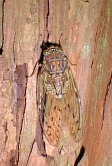 higurasiヒグラシ雌