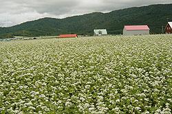 buckwheat-6ソバ畑