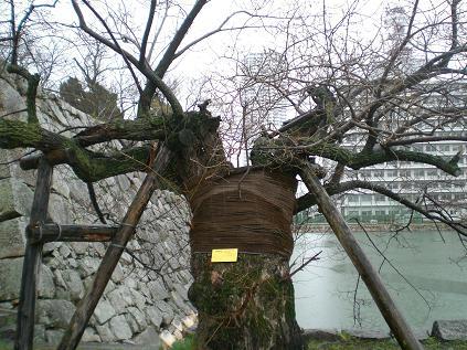 原爆にあいながら残った木1