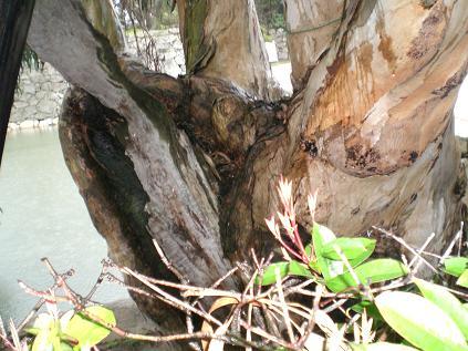 原爆にあいながら残った木2