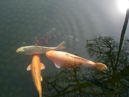 おデブな鯉