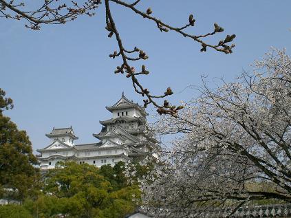 姫路城と桜2