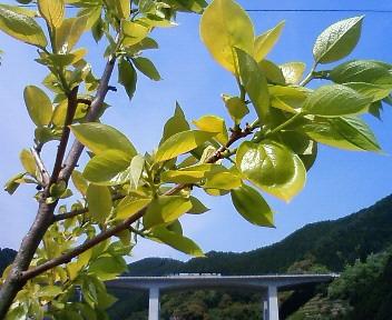 柿の若葉と第2東名