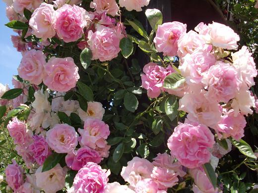 バラたちの饗宴