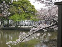 源平池と桜