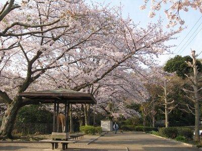 公園右側の桜