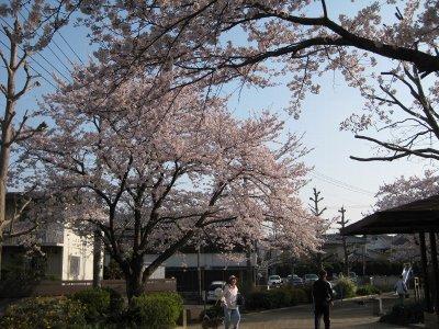 公園入口の桜